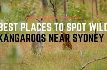 Kangaroos near Sydney